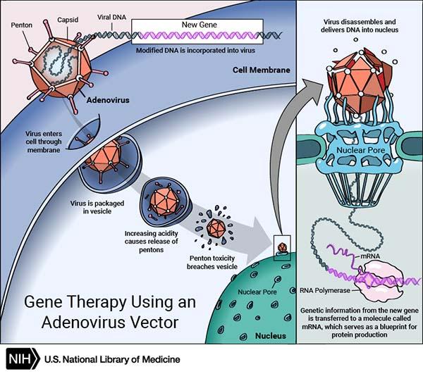 Adenovirus Vector